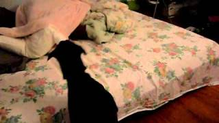 Doberman Pinscher Vs The Blanket Monster