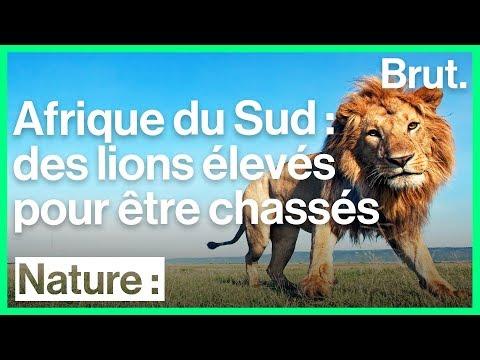 Le lion comme animal de ferme en Afrique du Sud