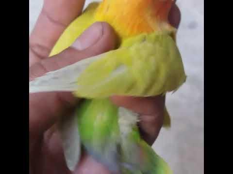 Lovebird Green Pale Fallow Youtube