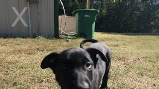 Black Malinois Puppies