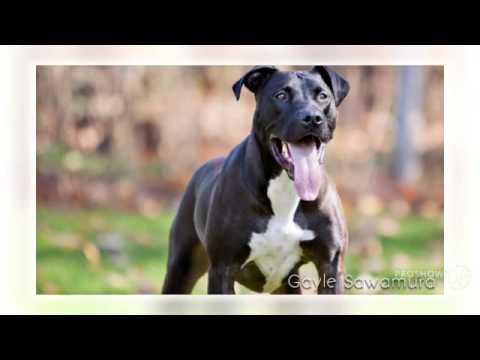 Great Danebull Dog breed