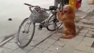 A Golden Retriever Guards Its Owner's Bike In China.