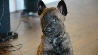 Belgian Malinois—Mishka—6 Weeks Old
