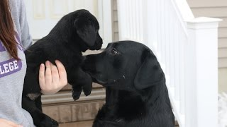 How Do I Introduce a New Dog or Puppy?