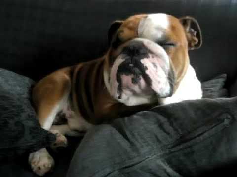 English Bulldog Wakes Up