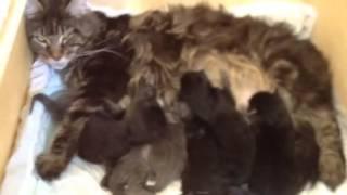 Кошка мейн кун родила семерых котят