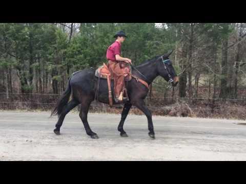 Draft mule for sale