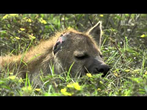 Гангстеры дикой природы - Гиены - Ржачные видео приколы