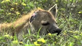 Гангстеры дикой природы - Гиены
