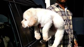 KCI Registered Labrador Puppies on Sale 15000/// Heavy bone Labrador retriever puppies for sale///