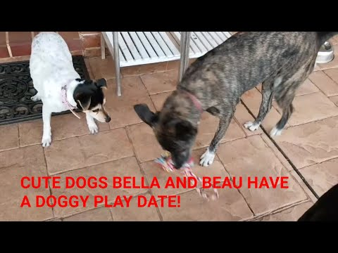 Cute dogs Bella and Beau have doggy friends stay over! 🐶🐩❤