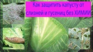 видео Вредители капусты: как спасти урожай?