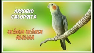 ASSOBIO CALOPSITA - GLÓRIA GLÓRIA ALELUIA