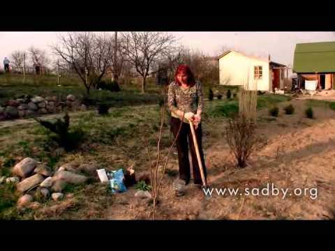 Лилия и лилейник: как отличить и посадить?