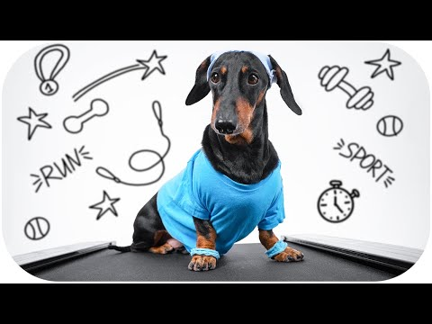 Dachshund fitness Workout | Dog fitness training
