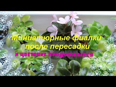 видео: ❀Миниатюрные фиалки после пересадки❀ Цветение продолжается❀ ЛЕ-Эльфийский сад❀
