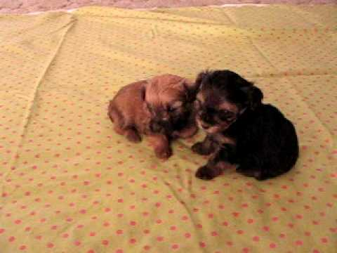 Toy Yorkie Poo Puppies Youtube