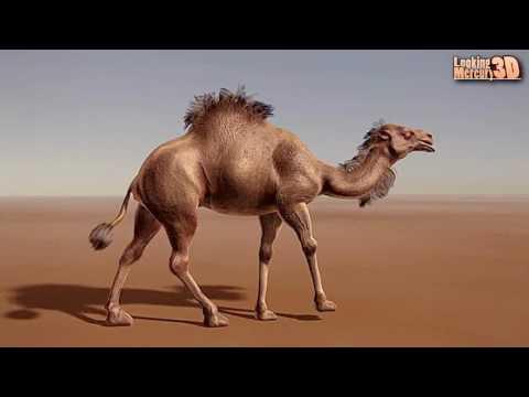 Camel 3D Animation