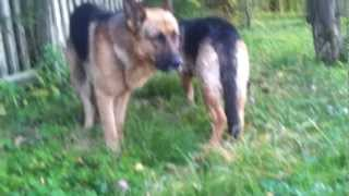 Roślinożerny pies // Herbivorous dog