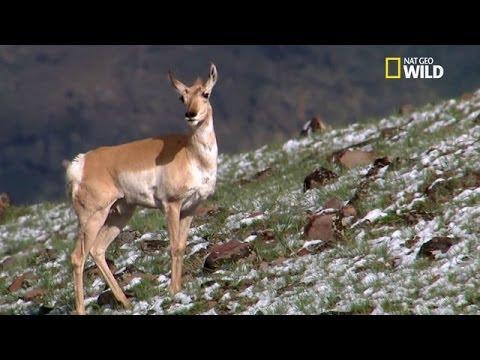 hqdefault - Les structures sociales dans les sociétés animales: Les antilopes