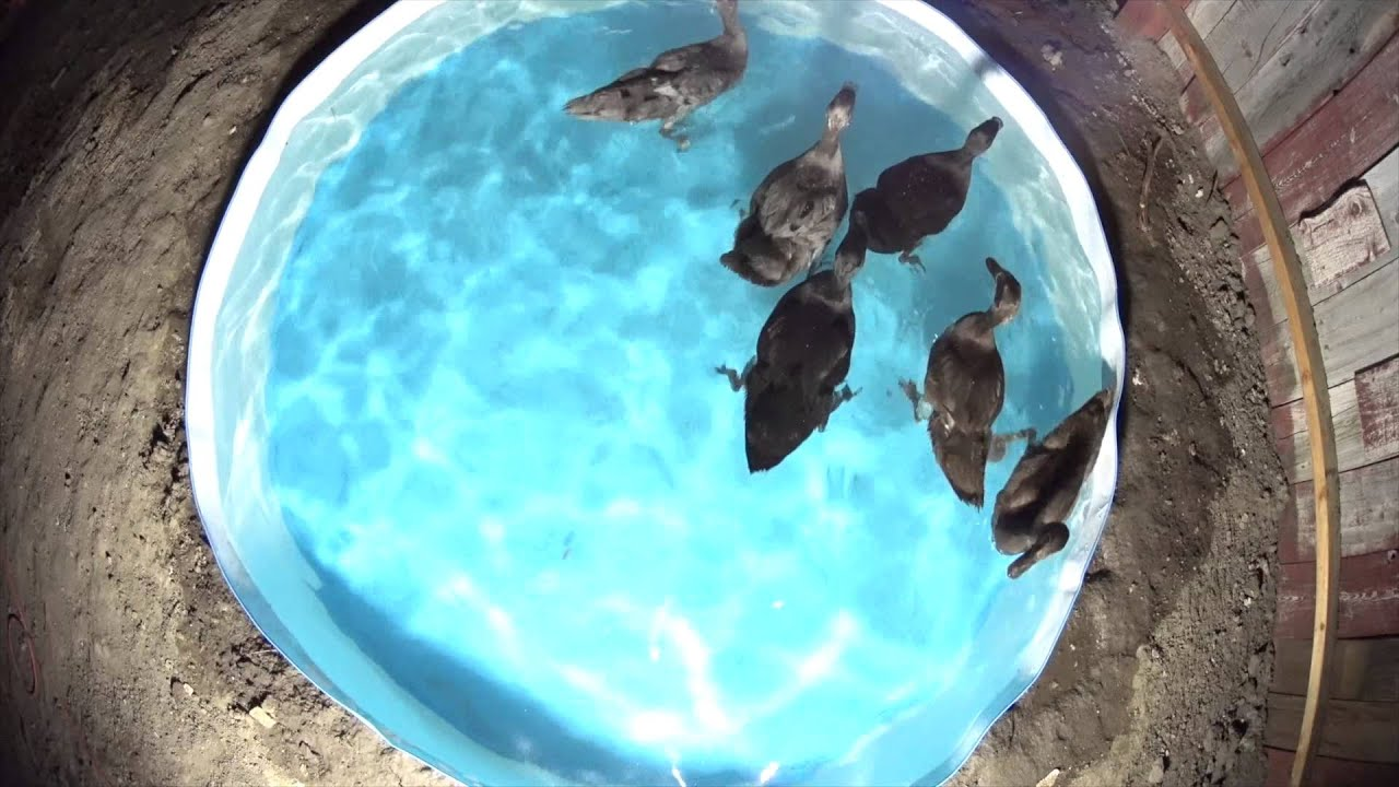 2 month old indian runners fishing for gold fish at night for Koi pond next to pool