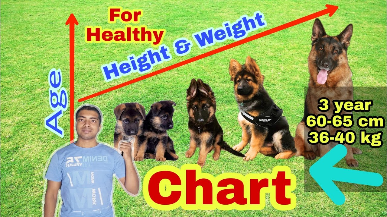 German Shepherd Height And Weight Chart