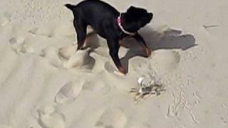 Dog Vs. Crab