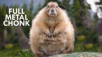 Marmots: Fuzzy Little Chonks