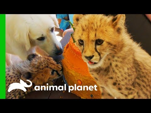Cheetah Cubs Meet Their New Dog Best Friend! | The Zoo: San Diego