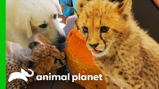 Cheetahs With Emotional Support Dogs