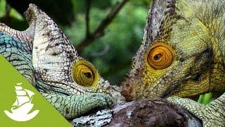 The Parson's chameleon thumbnail