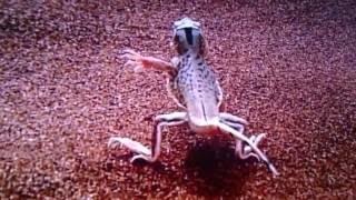 【丸飲み補食】ケープコブラがハタオリドリの巣穴を物色し雛を丸飲み補食する映像
