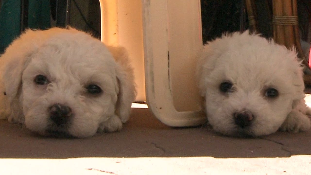 bichon frise puppies fall asleep youtube