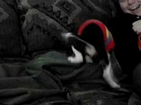beagle humping blanket