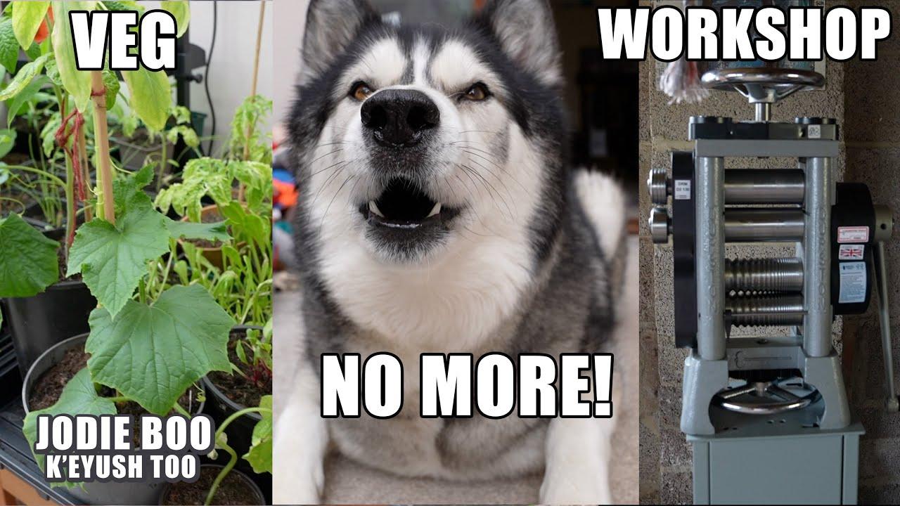 My Husky Hates My Veg Growing! + Workshop Update