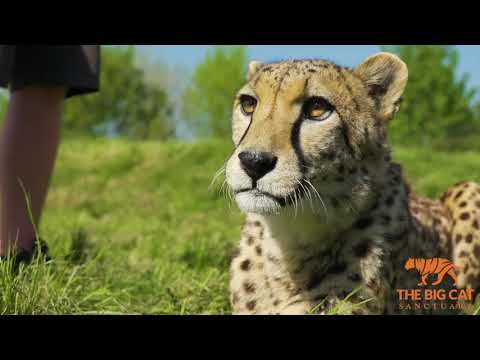 Video of Big Cat Ranger for a Day - Weekends