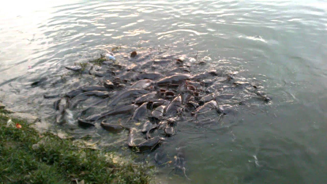 Catfish swarm @ J P Park bangalore - YouTube - photo#50