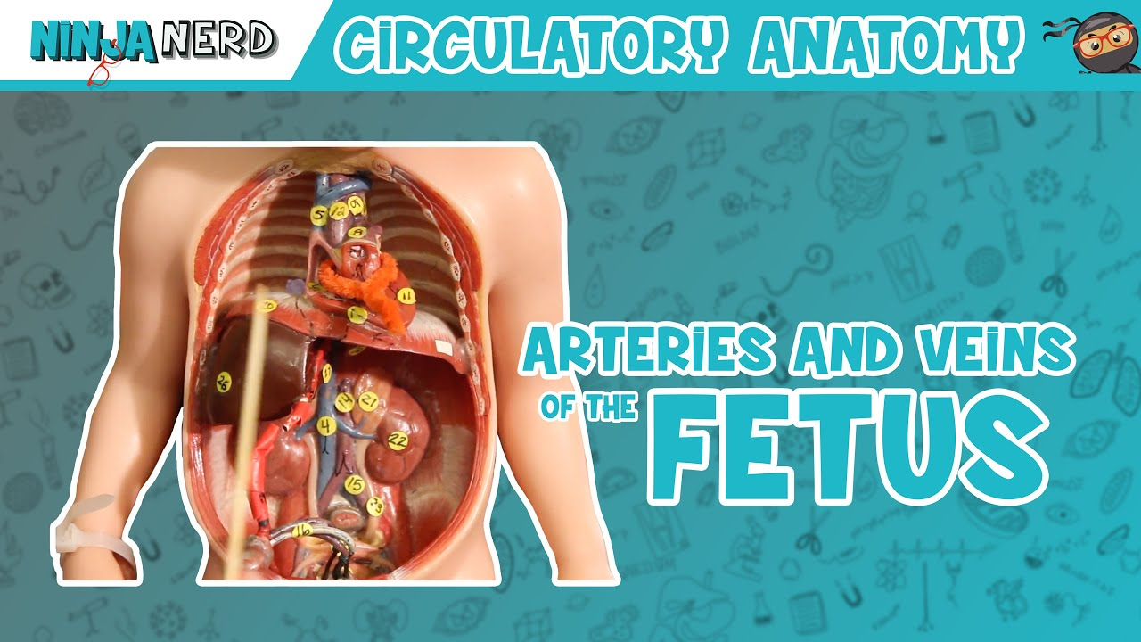 Circulatory System   Arteries & Veins of the Fetus   Fetal Circulation Model
