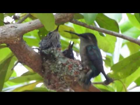 bee hummingbird nest withe female and 2 young ones
