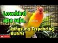 Pancingan Lovebird Fighter Ngetik Ngekek Mendengar Ini Lovebird Apa Saja Bisa Terpancing Bunyi  Mp3 - Mp4 Download