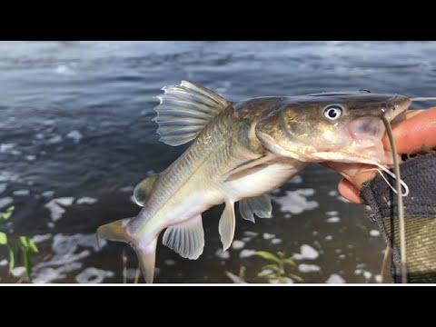 មកស្ទូចត្រីឆ្លាំងស្ពានស្រែងបានឆំៗណាស់- Caught A Lots Of Catfish - Catfish Fishing - Catch& Cook.