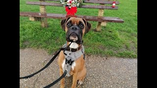 Brian the Boxer  4 Weeks Residential Dog Training