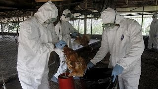 Cameroon hit by a bird flu outbreak in a major poultry facility