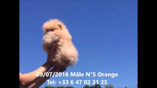 Spitz nain pomeranien male orange a vendre numero 5(, 2016-07-09T17:22:56.000Z)