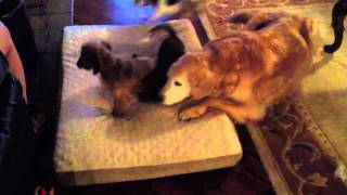 Two Miniature Dachshund Puppies, A Rat Terrier, And A Golden Retriever