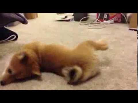Shiba puppy derping