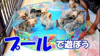 【ヨークシャーテリア専門犬舎チャオカーネ】 熱い夏を楽しもう!! ワン...