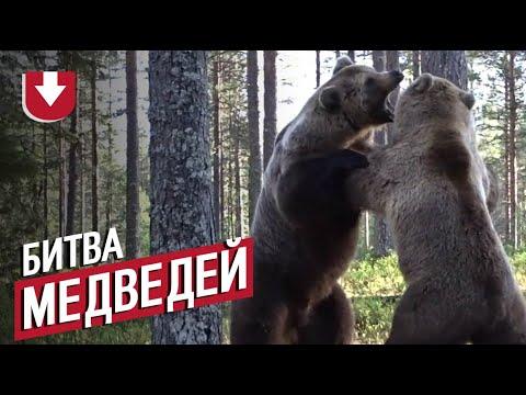 Схватка огромных медведей: видео с близкого расстояния
