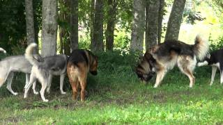 Husky Dogs And German Shepherd Dog Mix