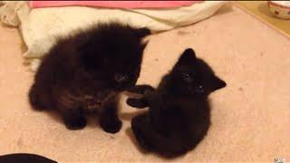 2匹の黒猫赤ちゃんです。とても仲良しです。